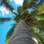 Palm Tree Upward